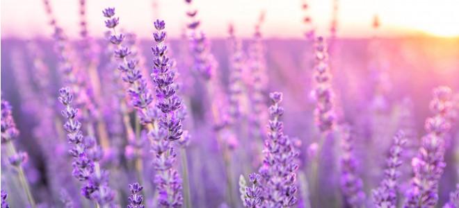 Lavender - Purple Relaxing Flower